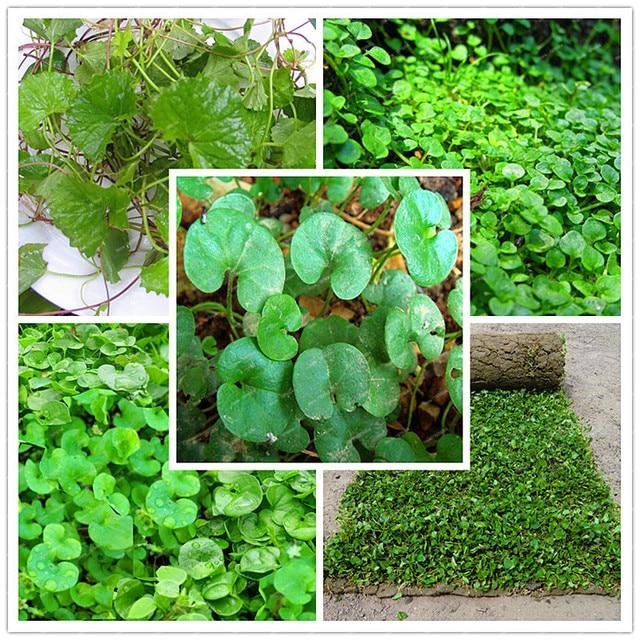 200pcs/ Lot Dichondra Repens Lawn Bonsai Grass Hanging Decorative Garden  Plants Do Flower Flores For