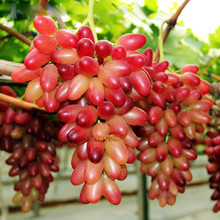 YVYOO 30 pcs/bag  Grape Tree seedsplants bonsai Grows Fruits Bonsai Non-GMO plants balcony potted garden B38