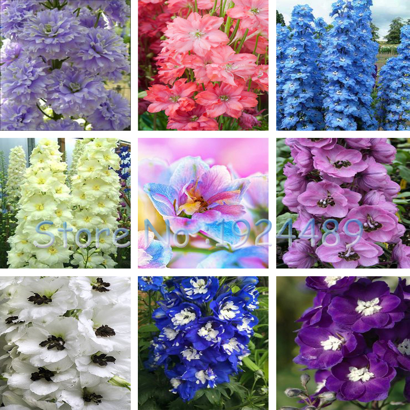 Rare 18 different colors of Rocket larkspur seed Consolida Ajacis Delphinium Flowers potted font b bonsai