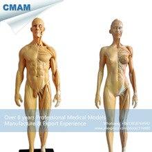 CMAM-PRC26 1:6 Antique Colored PU Human Body Anatomy Teaching Muscle Bone Model Male + Female 30cm