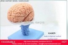 HUMAN ANATOMICAL MODEL,HUMAN ANATOMY VENTRICLES OF BRAIN STEM BETWEEN CMAC NERVOUS SYSTEM MODEL BRAIN ANATOMY MODEL-GASEN-NSJ001