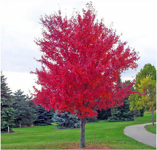 American Red Maple Bonsai Tree seeds 100pcs