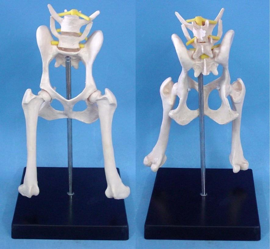 Perro lumbar cadera modelo animal modelo de Anatomía Veterinaria ...