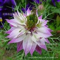 Flower plant grass plant harvest authentic black grass bonsai Siya Dan sunspots Persian real gem vanilla according to 200g
