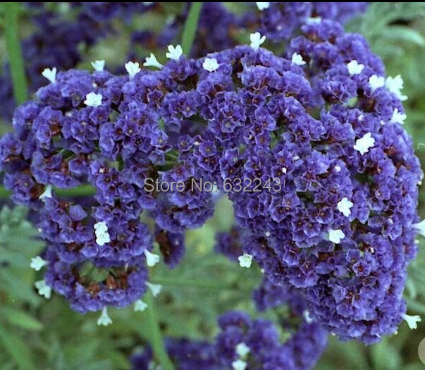 New arrival home garden plant 100 seeds purple statice sea new arrival home garden plant 100 seeds purple statice sea lavender limonium sinuatum flower seeds mightylinksfo