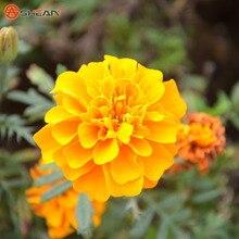 Yellow Maidenhair Seeds Flower Seeds Potted Herb Garden Marigold Chrysanthemum Bonsai Seeds 50 Particles / lot