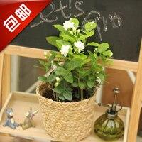 Цветы жасмина комнатное растение цветы Обои Для Рабочего офисного небольшие горшечные растения