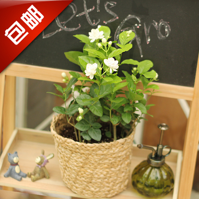 small office plant. jasmine flowers indoor plant desktop office small potted plants