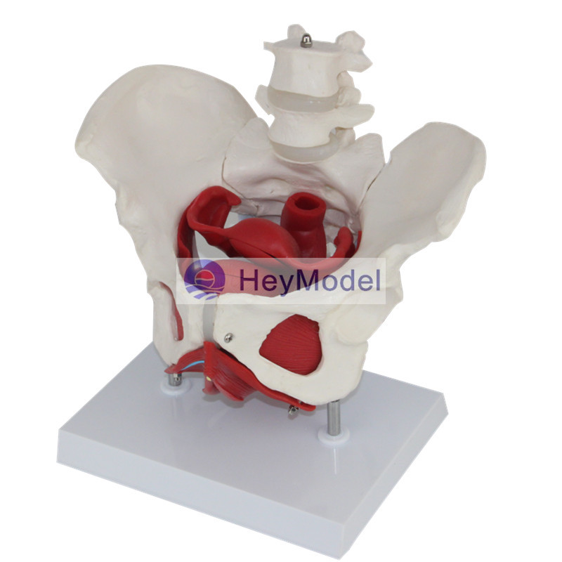 HeyModel Human spine model with Base heymodel human teeth with pathology
