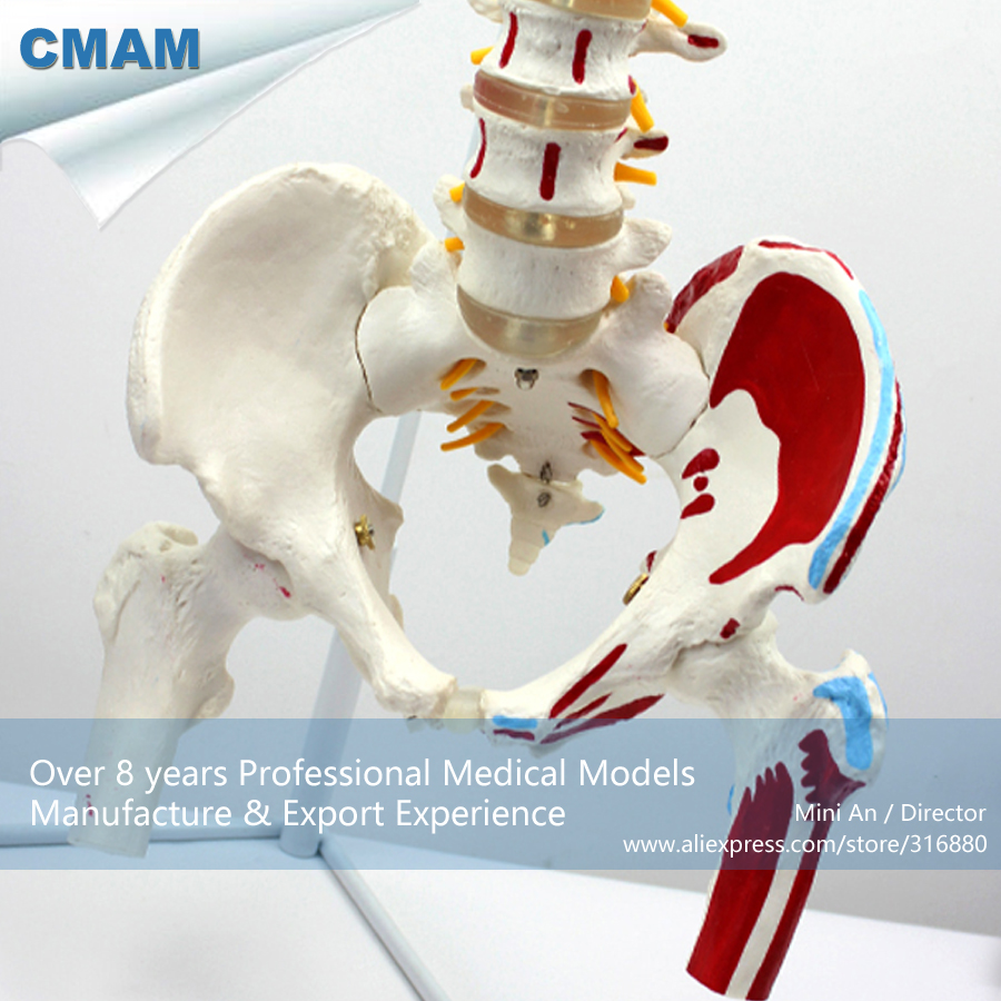 12378 CMAM-SPINE05-1 Vertebral Column with Pelvis and Painted Muscles Model, Medical Science Educational Teaching Models cmam spine11 human vertebral column w half femur highly detailed model medical science educational teaching anatomical models