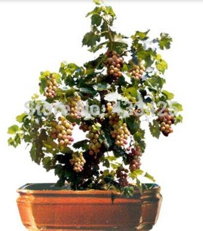 50 seeds Bonsai Green Grapes Seeds Pot Dwarf Fruit Home Garden Climbing Tree Rapid Growth Variety