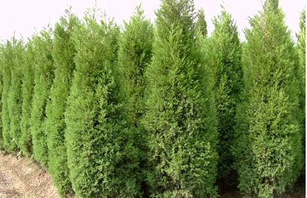 100pcs/bag Microbiota decussata,Siberian Carpet Cypress,Arborvitae seeds flower bonsai plant DIY home garden free shipping