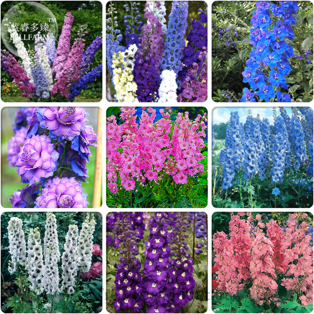 Lovely BELLFARM Different Types Of Delphinium Perennial Flowers, 100 Seeds, Big  Blooms Beautiful Home Garden