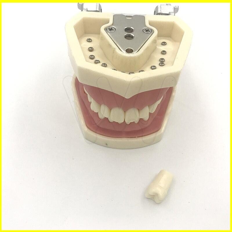 Les Dents Dentaires Amovibles De Modèle 28 pièces Dents Nissin Type Dentaire Typodont Modèle