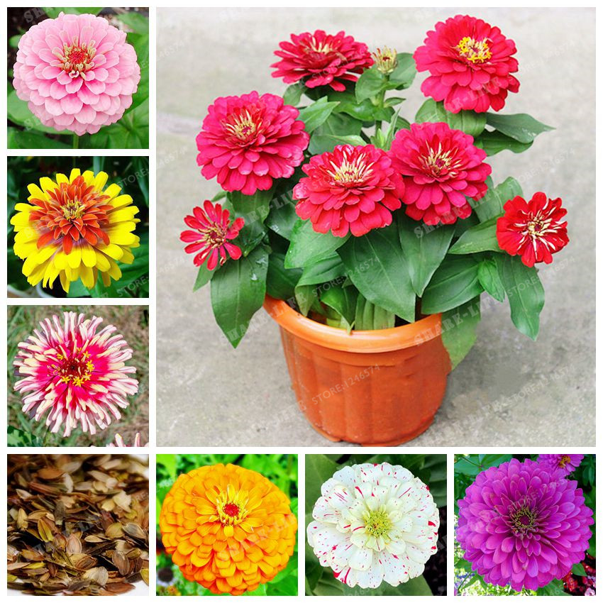 100PCS Zinnia Bonsai Rare Variety Heat Tolerant Garden Flower Flowering Plants Potted Charming Chinese Flowers Bonsai fake rose flowers