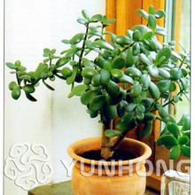 Buy crassula plant and get free shipping on AliExpress com