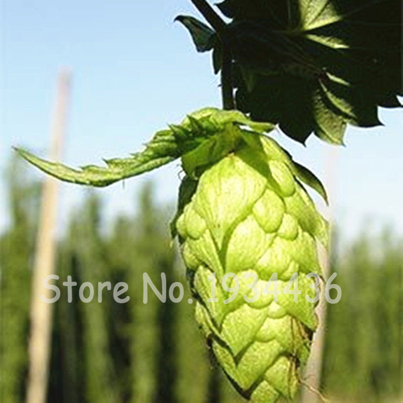 Big Sale 100 Pcs German Hops Humulus Lupulus Brew Your Own Beer Today * Returns Year After Year - Plants Form Blooming Plants(China)