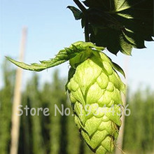 Big Sale 100 Pcs German Hops Humulus Lupulus Brew Your Own Beer Today * Returns Year After - Plants Form Blooming