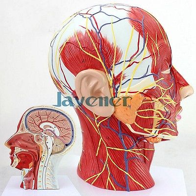 Life Size Human Anatomical Head And Face Anatomy Medical Model Plastic