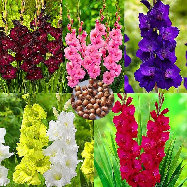 True Gladiolus Bulbsbeautiful Gladiolus Flowerflower Symbolizes