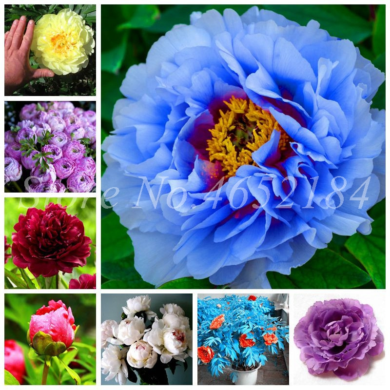 30 Pcs Exotic Double Peony Bonsai,Multicolor Perennial Peony Flower Chinese Paeonia Suffruticosa Plant For Diy Home Garden Flore