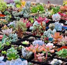 300seeds/pack Mix Succulent seeds lotus Lithops Pseudotruncatella Bonsai plants Seeds for home & garden Flower pots planters