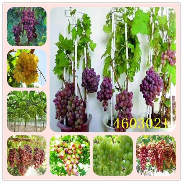 Senior Courtyard Plants,delicious Fruit Kyoho Grape bonsai Red Mention Child bonsai 50pcs High survival rate, easy to plant