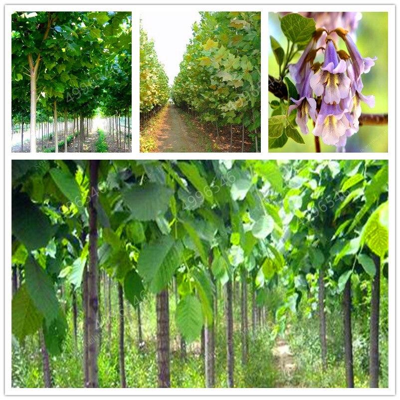100 Pcs/bag Bonsai Paulownia , Royal Empress Tree (Paulownia Tomentosa), Outdoor Plants Flower Home Garden Pot Plants