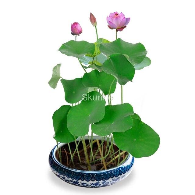 Вода выращивания корень цветок лотоса для круглогодичного посева Лотос бонсай лотоса растений зеленых насаждений цветы комнатные растения 5 штук в упаковке