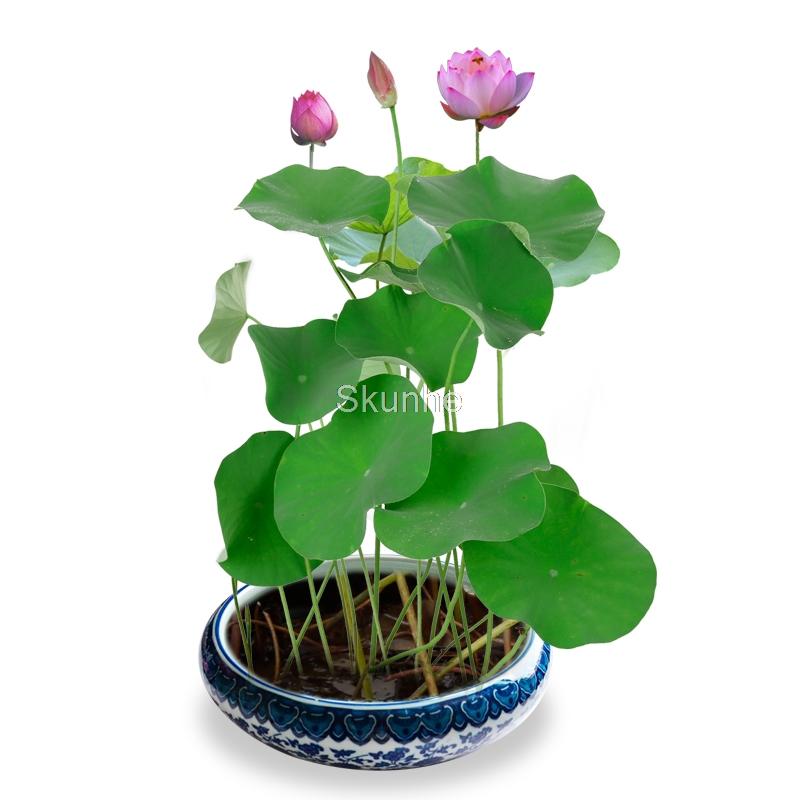 Wholesale Water Cultivation Root Flower Lotus Four Seasons Sowing Lotus Bonsai Lotus Plant Green Planting Flowers Potted Plant 5 Bag Only 0 35