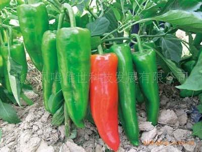 Beijing spicy pepper seeds 80 Seeds Vegetable Seeds