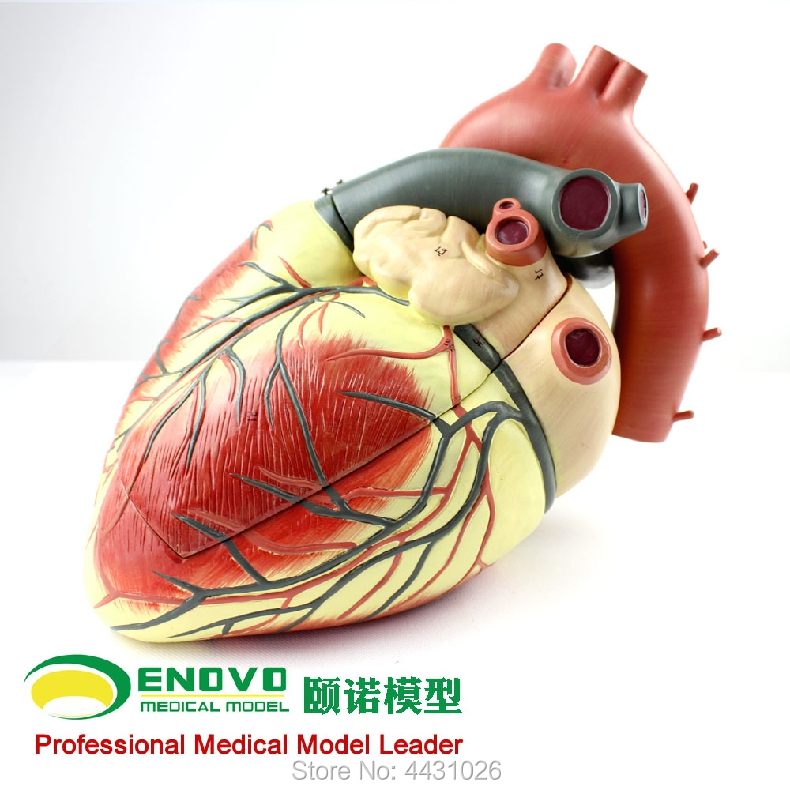ENOVO Medical ultrasound human heart model cardiology ultrasound ultrasound model of cardiac cardiovascular anatomy
