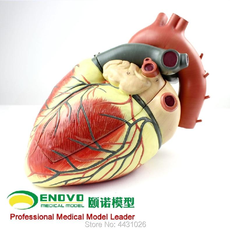 ENOVO Medical ultrasound human heart model cardiology ultrasound ultrasound model of cardiac cardiovascular anatomy heart anatomy viscera medical model model of cardiac cardiac anatomy cardiovascular model of heart huma heart model gasen xz005