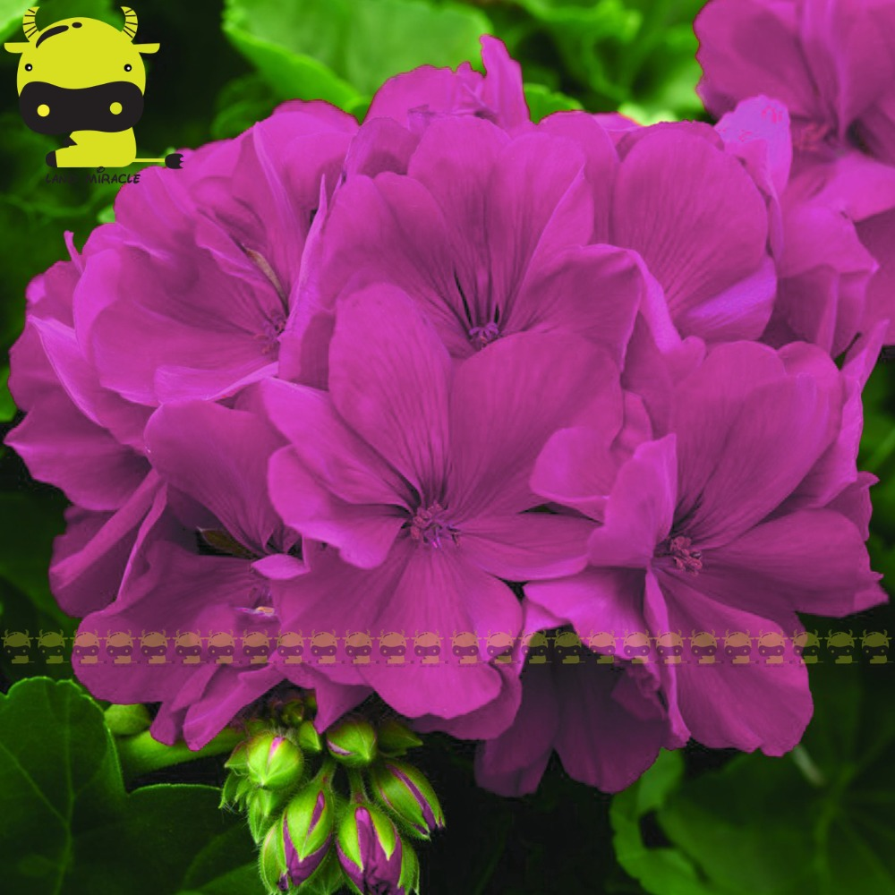 Purple Rose Geranium Flower Seed 5 Seedspack Rare Pelargonium