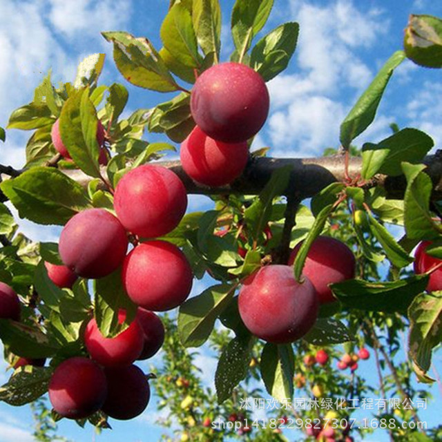 Southern varieties of potted plum fruit wholesale fruit plum seed maturing three Chinese Li Zaiji to direct 10 Seeds/Pack