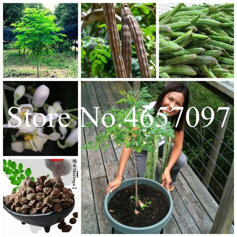 5 Pcs/bag Indian Moringa Bonsai, Edible Ornamental Flores, Home Garden Plant, Outdoor Garden Tree Plantas