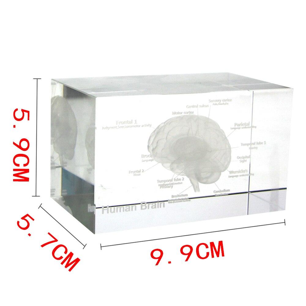 3d Glazen Kubus.Us 19 99 Hersenen Diagram Crystal Cube 3d Human Anatomisch Model Kristal Glazen Kubus Anatomie Geest Neurologie Denken Medische Wetenschap