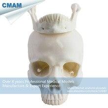 CMAM-PRC64 Embryo Resin Model Medical Realistic White Life Size Human Skull Model Anatomy