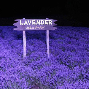 Provence lavender seeds organic vegetable seeds 100seed