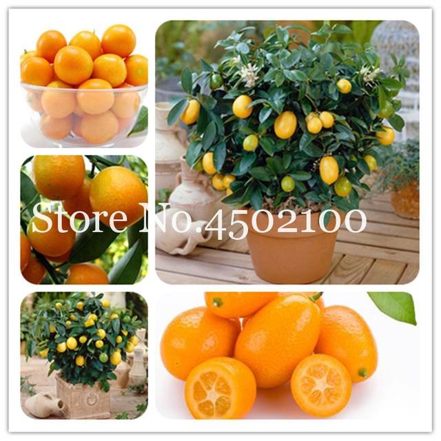 € 0.3 63% de réduction|Promotion! 50 pièces balcon Patio arbres fruitiers  Kumquat bonsaï jardin Orange Flores mandarine nain agrumes juteux Orange ...
