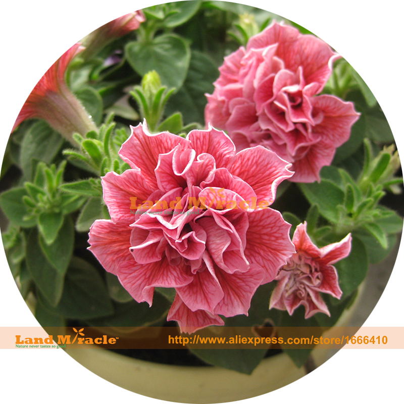 Britain Imported Bonsai Petunia Seeds, 100 Seeds, Rare Garden Flowers Plant Potted DIY home garden decor-Land Miracle