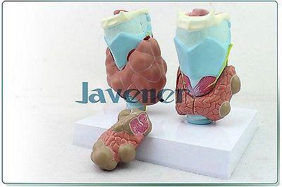 Human Anatomical Thyroid Gland Pathology Anatomy Medical Model High Quality