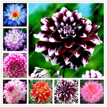 20 pcs/bag dahlia flower plants,(not bulbs)bonsai gorgeous Balcony potted plant for home garden