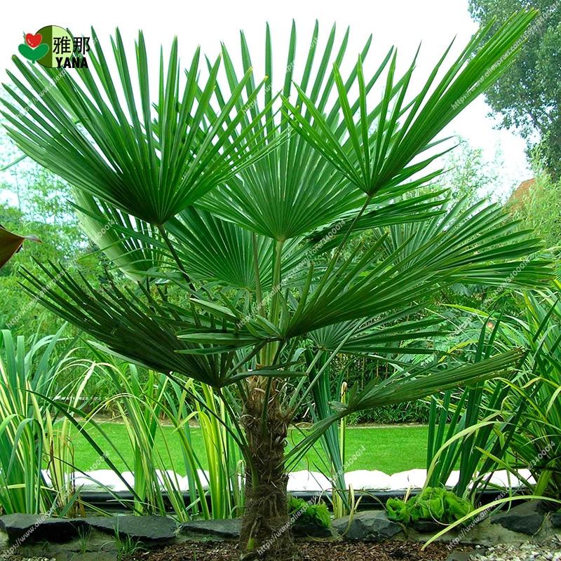 Livistona Chinensis Seeds Bonsai Ornamental Plants Evergreen Tree Palm 10Pcs