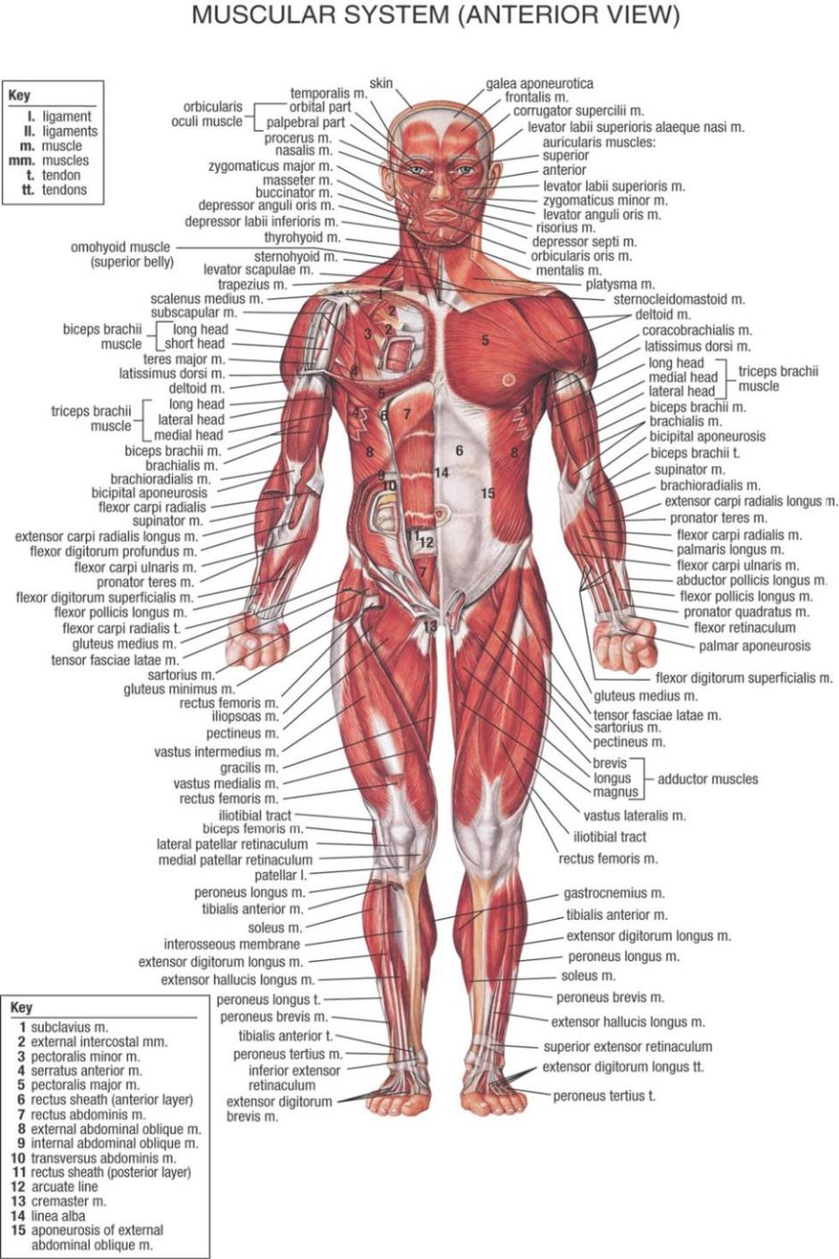 Human Body Anatomical Chart Muscular System Watercolor Inkjet