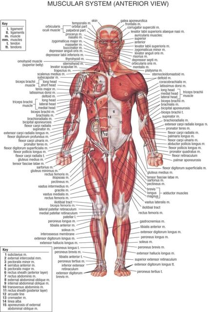 Human Body Anatomical Chart Muscular System Watercolor Inkjet