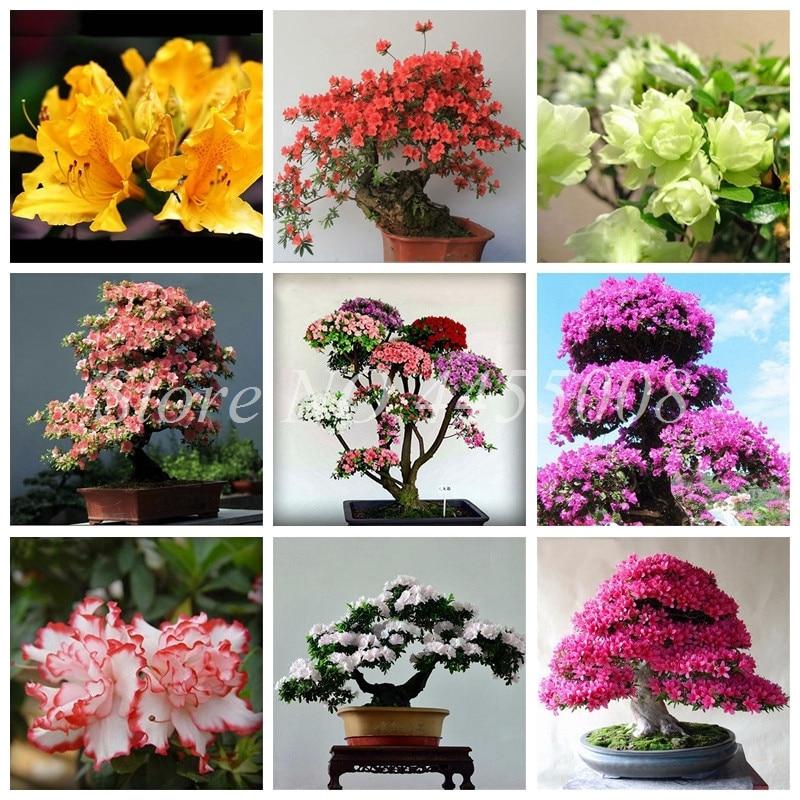 Us 0 09 85 Off 10pcs Bag Rare Bonsai 16 Varieties Azalea Diy Home Garden Outdoor Plants Looks Like Sakura Anese Cherry Blooms Flower Pot In