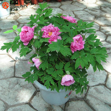 25 Color Selectable Authentic Chinese Peony Flower Seeds Potted Flowers Bonsai Plant Peony Seeds 10 particles / bag