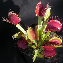 100 Venus flytrap plant seed seeds potted bonsai garden terrace Carnivorous plants seeds per pack