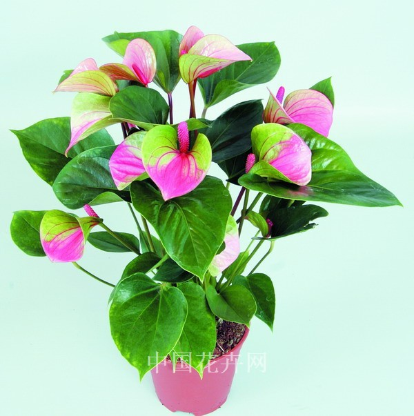 200pcs rare pink + green anthurium seeds, andraeanum grains,bonsai flower seeds Balcony flower pots for the garden home DIY